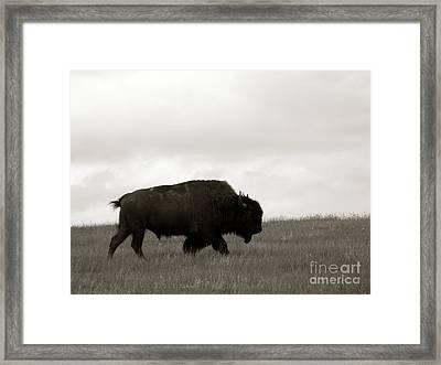 Lone Bison Framed Print by Olivier Le Queinec