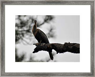 Lone Cormorant On Jekyll Island Framed Print by Bruce Gourley