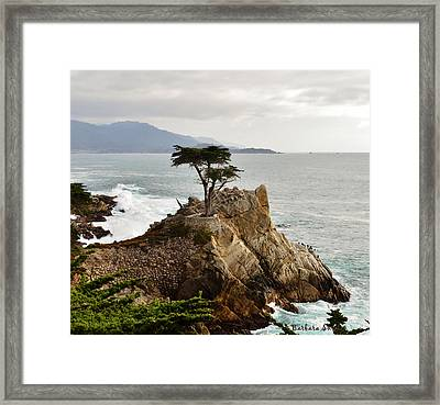 Lone Cypress Detail Framed Print by Barbara Snyder