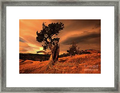 Lone Pine Framed Print by Bob Christopher