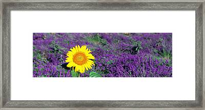 Lone Sunflower In Lavender Field France Framed Print by Panoramic Images