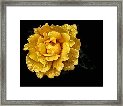 Lone Yellow Rose Framed Print by Stephanie Hollingsworth