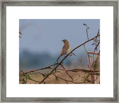 Lonely Bird Black Headed Bunting Framed Print by Srijan Roy Choudhury