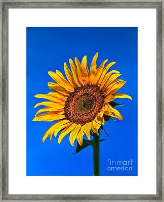 Lonely Sunflower Framed Print by Robert Bales