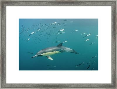 Long-beaked Common Dolphin (delphinus Framed Print by Pete Oxford
