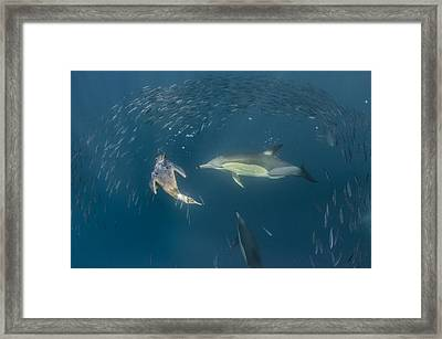 Long-beaked Common Dolphins And Cape Framed Print by Pete Oxford