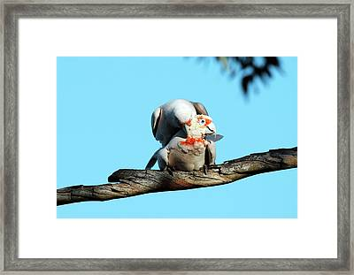 Long-billed Corellas Framed Print by Gerry Pearce