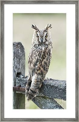 Long Eared Owl Framed Print by Tim Gainey