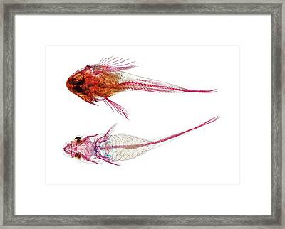 Long-spined Sea Scorpion And Clingfish Framed Print by Natural History Museum, London