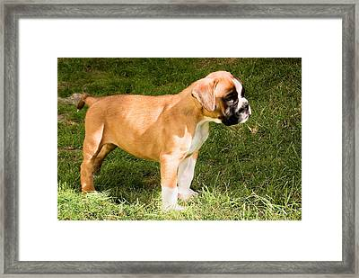 long tailed Boxer Puppy in the sun Framed Print by Weston Westmoreland
