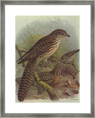 Long Tailed Cuckoo And Grey Warbler Framed Print by J G Keulemans