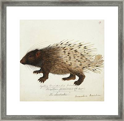 Long Tailed Porcupine From Sumatra Framed Print by British Library