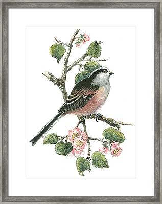 Long Tailed Tit And Cherry Blossom Framed Print by Nell Hill
