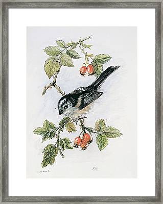 Long Tailed Tit And Rosehips Framed Print by Nell Hill