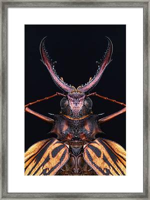 Longhorn Beetle Macrodontia Cervicornis Framed Print by Robert Jensen