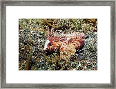 Longspine Waspfish Framed Print by Georgette Douwma