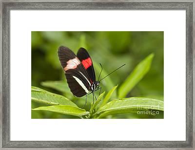Longwing On A Leaf Framed Print by Bryan Keil