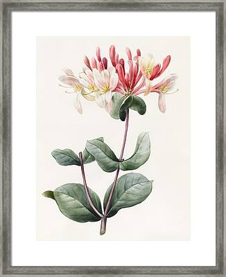Lonicera Periclymenum  Framed Print by Louise D Orleans