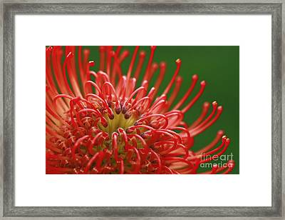 Look Inside Pincushion Flower Framed Print by Inspired Nature Photography Fine Art Photography