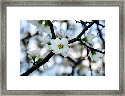 Looking Through The Blossoms Framed Print by Kaye Menner