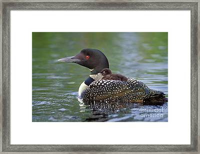 Loon Carrying Chick  45 Framed Print by Jim Block
