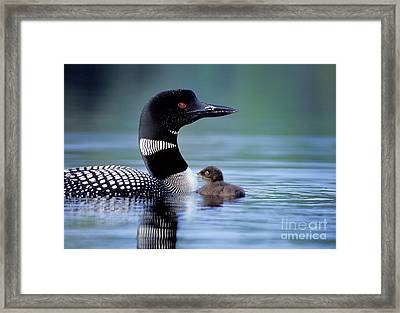 Loon With Chick #16 Framed Print by Jim Block