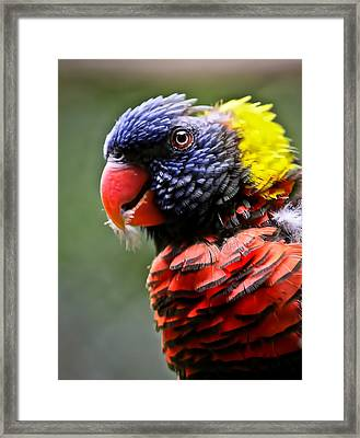 Lorikeet Bird Framed Print by Athena Mckinzie