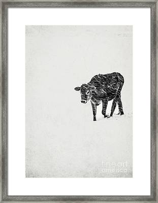 Lost Calf Struggling In A Snow Storm Framed Print by Edward Fielding