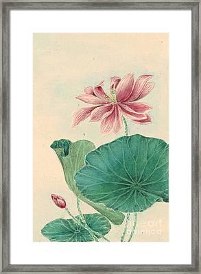 Lotus 1870 Framed Print by Padre Art