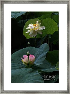Lotus Beauties In White Pink Gold And Green Framed Print by Byron Varvarigos