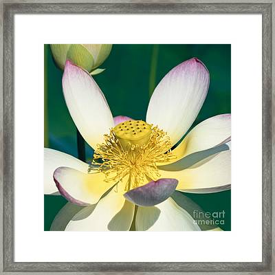 Lotus Blossom Framed Print by Heiko Koehrer-Wagner