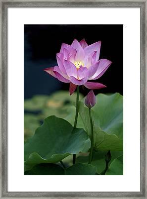 Lotus Blossom Framed Print by Penny Lisowski