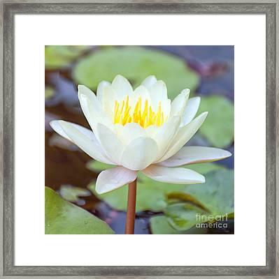 Lotus Flower 02 Framed Print by Antony McAulay