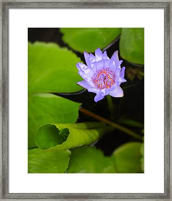 Lotus Flower And Lily Pad Framed Print by Adam Romanowicz