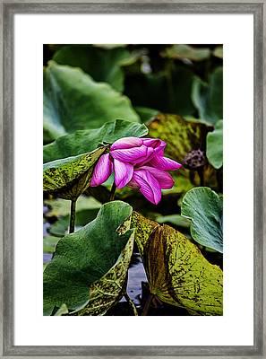 Lotus Flower- Gungarre Billabong Framed Print by Douglas Barnard