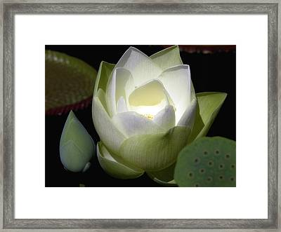Lotus Flower In White Framed Print by Julie Palencia