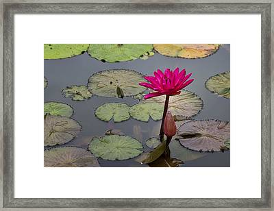 Lotus Flower Framed Print by Mike Herdering