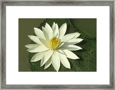Lotus Flower  Framed Print by Anonymous