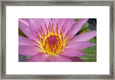 Lotus Flower Framed Print by Tanaphat Lamsuk