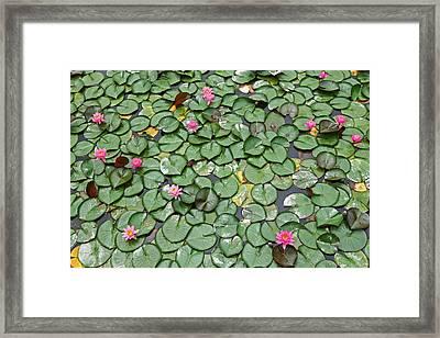 Lotus Flowers In A Pond Framed Print by Tamas Virag