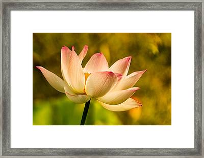 Lotus In Morning Light Framed Print by Rick Barnard