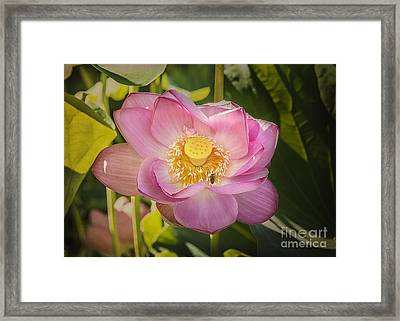 Lotus In The Pink Framed Print by Terry Rowe