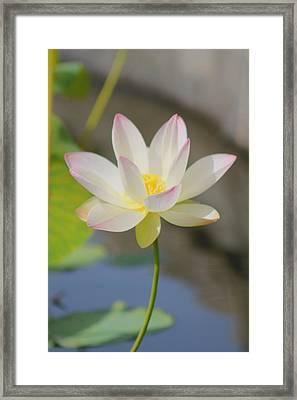 Lotus Framed Print by Mary Koval