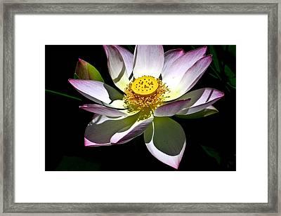 Lotus Of The Night Framed Print by Douglas Barnett