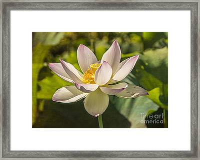 Lotus Shining Framed Print by Terry Rowe