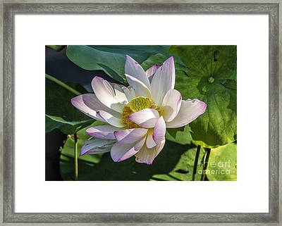 Lotus The Sacred Lily Framed Print by Terry Rowe