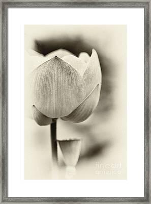 Lotus Framed Print by Tim Gainey