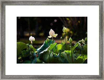 Lotuses In The Evening Light Framed Print by Jenny Rainbow