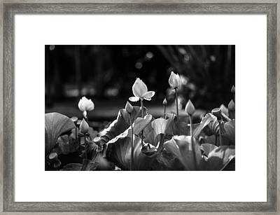 Lotuses In The Pond. Black And White Framed Print by Jenny Rainbow