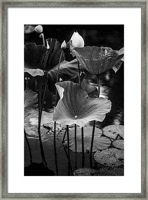 Lotuses In The Pond II. Black And White Framed Print by Jenny Rainbow